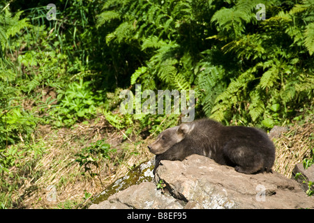 Brown Bear Cub ruht auf einem Felsen in der Sonne am Big River Lake in Yunan Alaska im Sommer - Stockfoto