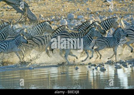 Erschreckt Zebras vom Wasserloch, Etosha Nationalpark, Namibia - Stockfoto