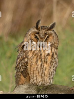 Lange eared Eule Asio Otus Marloes Pembrokeshire Wales UK Europe - Stockfoto