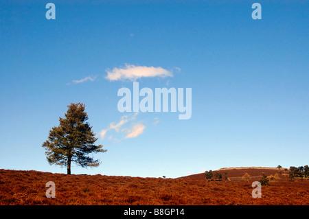 Ein einsamer Scots Kiefer auf Winter melierten Mauren. - Stockfoto