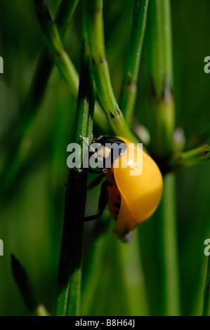 Sieben vor Ort Marienkäfer Coccinella 7 Trommler Marloes bloße Pembrokeshire Wales UK Europe - Stockfoto
