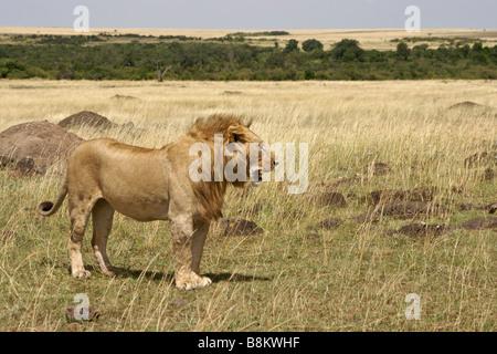 Männlicher Löwe in der Savanne, Masai Mara, Kenia - Stockfoto