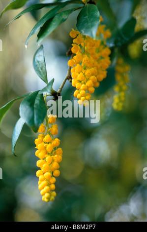 Blüte Cytisus Battenieri in Nahaufnahme - Stockfoto