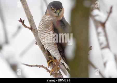 Sperber (Accipiter Nisus), ein Raubvogel, der kleine Vögel, zum Beispiel Singvögel jagt. - Stockfoto