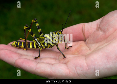 Heuschrecke Tropidacris Cristata Costa Rica - Stockfoto