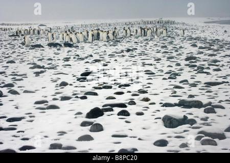 Salisbury Plain, South Georgia Island, UK - Königspinguine am Strand - Stockfoto