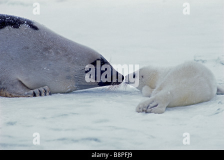 HARP SEAL PUP UND MUTTER, PRINZ EDWARD IST, KANADA - Stockfoto