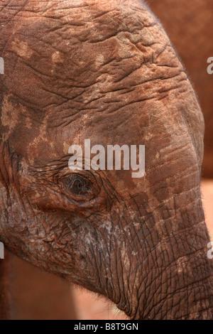 Afrikanische Elephante, Cub in Nairobi Elefant Recovery Center - Stockfoto