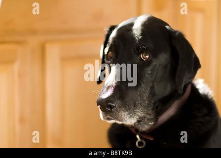 schwarzer Labrador sitzend