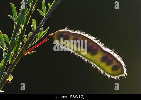 Gemeinsamen Ginster (Cytisus Scoparius) Samenkapsel im Abendlicht, mit Samen - Stockfoto