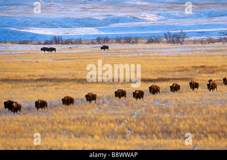 Bison-Herde auf verschneite Prärie Cannonball River Valley Grant County North Dakota AGPix 0070 - Stockfoto