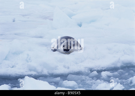 KAPUZEN-SEAL PUP, SANKT-LORENZ-GOLF, KANADA - Stockfoto