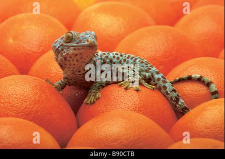 FL1179, Kitchin/Hurst; Gefleckte Eidechse Orangen - Stockfoto