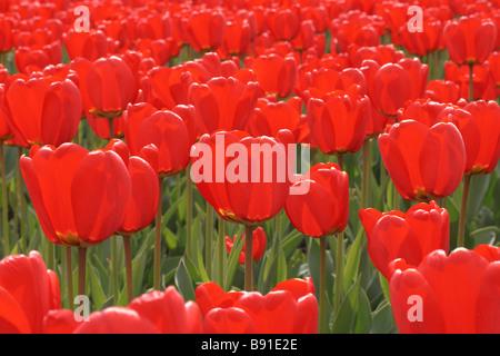 Feld mit vielen roten Tulpen - Stockfoto