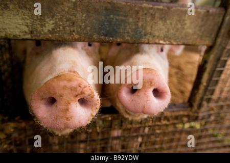 Zwei Schweine - Stockfoto