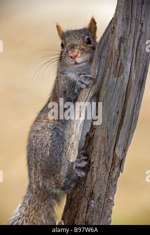 Östliche graue Eichhörnchen (Sciurus Carolinensis) NewYork - Portrait - Baum gehockt - Stockfoto