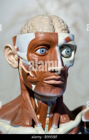 menschliche Anatomie Modell - Stockfoto