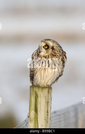 Short-eared Eule Asio Flammeus Erwachsenen thront auf einem Zaunpfahl - Stockfoto