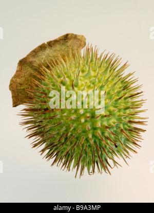 Samenkapsel des Jimsonweed eine giftige Pflanze aus der gleichen Familie wie Tabak - Stockfoto