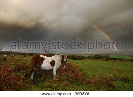 Eine Native pony Weiden auf Bracken Roborough tiefen, die ein Regenbogen durch Weitergabe Sturm verursachten Dartmoor - Stockfoto