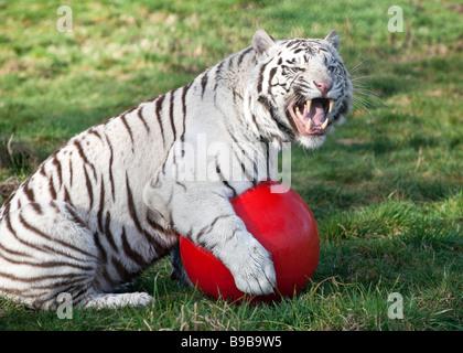 Ein weißer Tiger spielen mit einem großen roten Ball an der West Midland Safaripark Worcestershire England UK - Stockfoto
