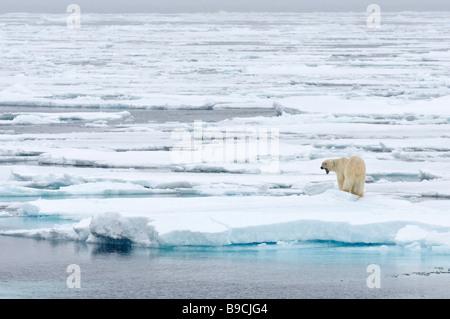 Eisbär Ursus Maritimus auf arktischen Packeis Spitsbergen, Svalbard. - Stockfoto