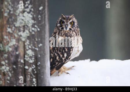 Sumpfohreule im Schnee / Asio Flammeus - Stockfoto