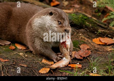 Europäische Otter (Lutra Lutra) - Stockfoto