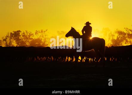 Rinder, die Musterung auf dem Pferderücken auf Australian Cattle Grundstück - Stockfoto