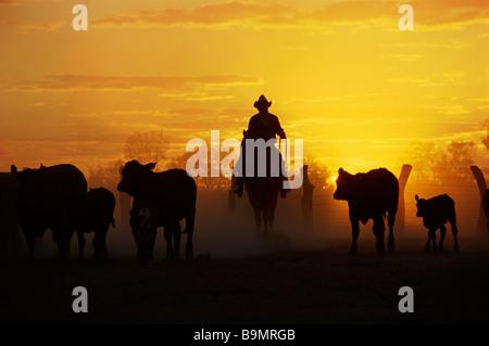 Rinder, die Musterung Australien - Stockfoto