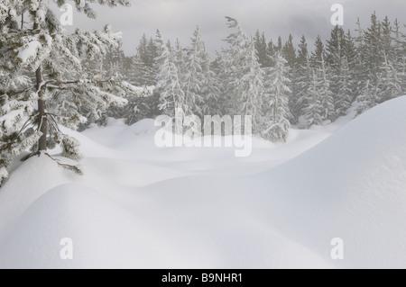 Schnee bedeckt lodgepole Pine Forest in der Nähe von Dampfenden Quellen von Norris Geyser Basin Yellowstone National - Stockfoto