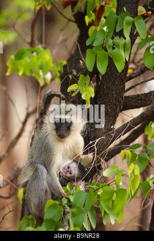 Vervet Affen mit Säuglingsernährung im Busch, Krüger Nationalpark, Südafrika - Stockfoto