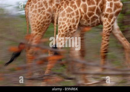 Giraffen unterwegs, Krüger Nationalpark, Südafrika Stockfoto