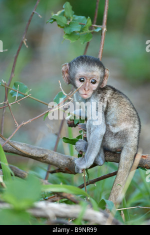 Baby Vervet Affen in einem Busch, Krüger Nationalpark, Südafrika - Stockfoto