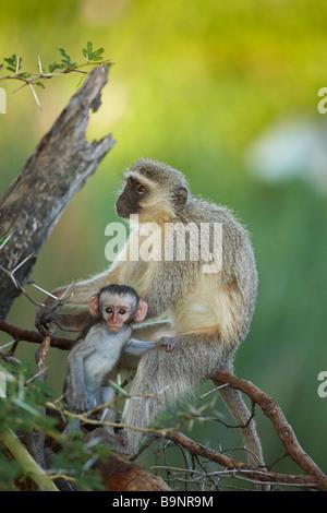 weibliche Erwachsene Vervet Affen mit Baby im Busch, Krüger Nationalpark, Südafrika - Stockfoto