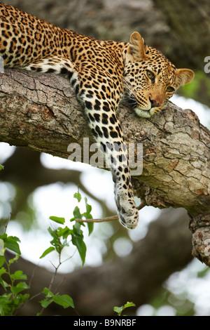 südafrikanische Ebenholz Beute