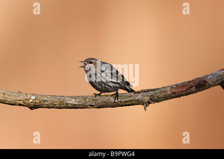 Kiefer Zeisig Zuchtjahr Pinus Pinus weibliche auf einem Ast mit Schnabel zu öffnen, in Gefahr-Anzeige - Stockfoto