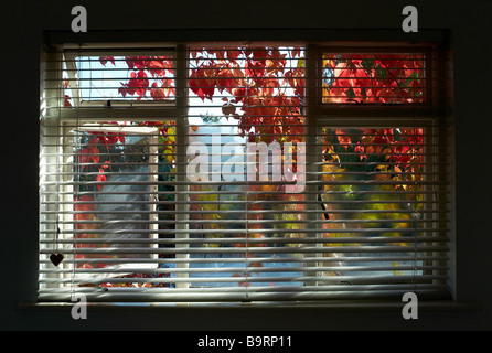 Ein Schlafzimmerfenster mit Jalousien und rote und grüne Blätter wachsen außerhalb des Fensters abdecken - Stockfoto