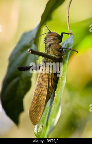 Riesige braune Cricket oder Giant Grasshopper (Tropidacris Dux) auf einem Blatt im Manuel Antonio National Park - Stockfoto