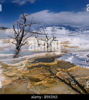 Tote Bäume auf Travertin-Pools auf der Main-Terrasse bei Mammoth Hot Springs Yellowstone Nationalpark Wyoming USA - Stockfoto