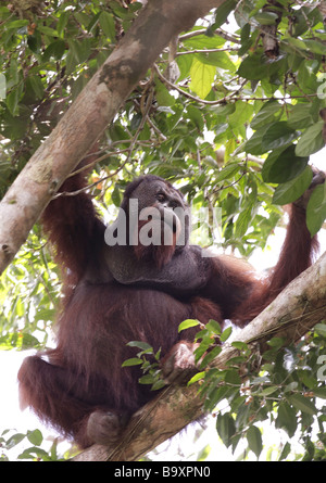 Wilde alte männliche Orang-Utan Pongo Pygmaeus Danum Valley Conservation Area Sabah Borneo - Stockfoto