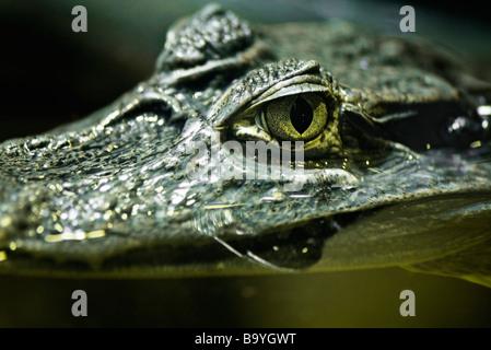 Kaiman (Crocodilus Yacare) - Stockfoto