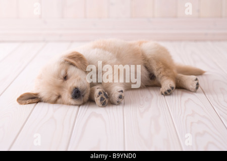 golden retriever welpe hund auf dem sofa liegend mit teddyb r stockfoto bild 101390546 alamy. Black Bedroom Furniture Sets. Home Design Ideas