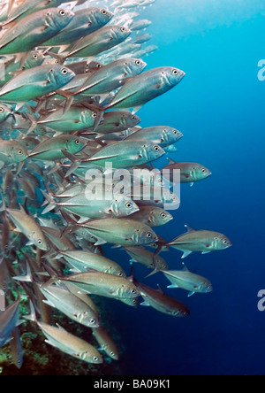 Eine Formation von Bigeye Makrelen oder Makrelen im Barracuda Point Reef in der Celebes-See in der Nähe der Insel - Stockfoto