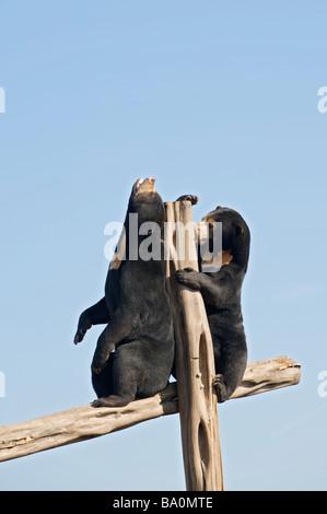Malayan sun bear (Helarctos malayanus) unverlierbaren UK. Der Handel mit wildlebenden Tier- und Pflanzenarten in - Stockfoto