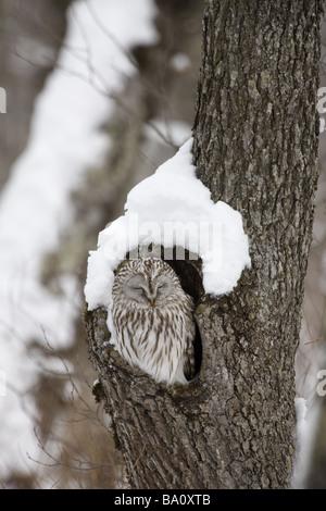 Habichtskauz Strix Uralensis Roost Japan winter - Stockfoto
