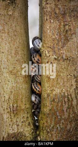 Abgerundete Schnecken, Discus Rotundatus zwischen Baumstämmen in Dorset im Januar