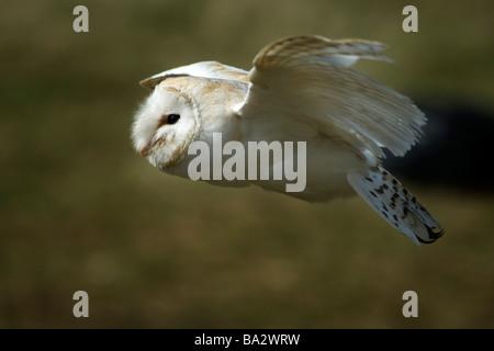 Schleiereule - Tyto alba - Stockfoto