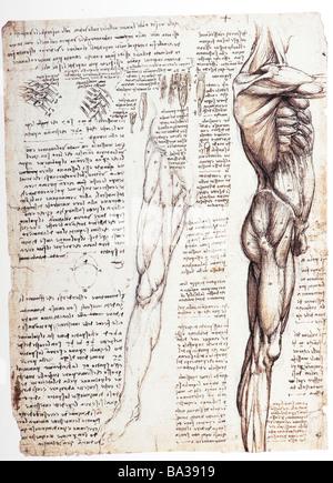 Studien zur Anatomie der Muskeln des Oberkörper und Bein von ...