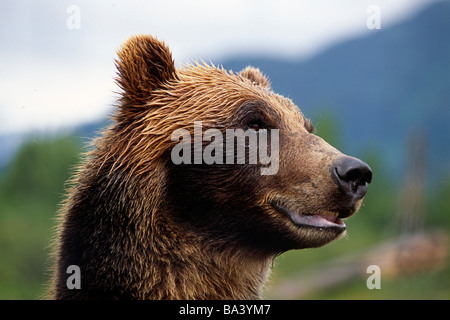 Nahaufnahme des Braunbären Kopf und Gesicht gefangen Alaska Wildlife Conservation Center Yunan Sommer - Stockfoto